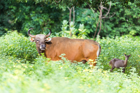 bos: Banteng are hiding in the forest.