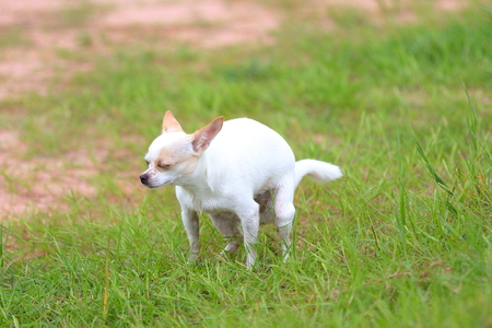 Chihuahua pooping at grass field