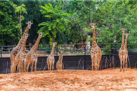 Herd of giraffes in the zoo Stock Photo