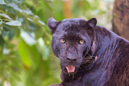felid: Black jaguar  in a forest Stock Photo