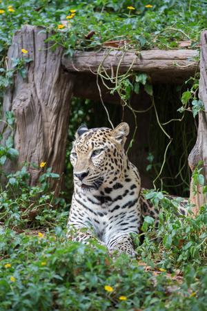 Wild leopard resting in shadow under bush Stock Photo