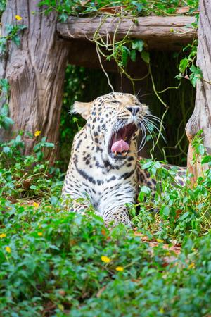 Leopard resting in bushes