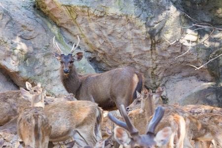 harem: Male deer is in its harem.