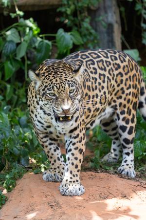 Leopards are ambush prey Stock Photo