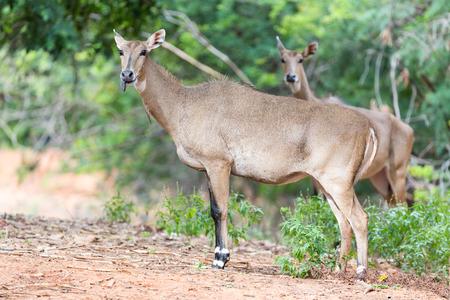 nebraska: Antelope