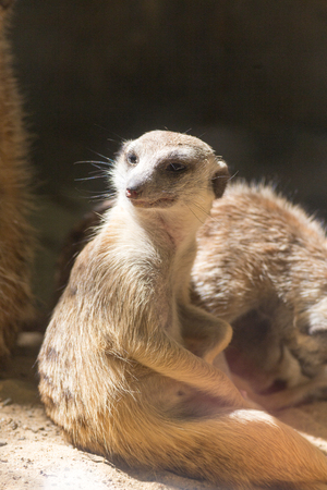 a small cute meerkat sits and watches