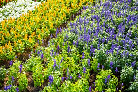 avender bushes closeup on sunset sunset gleam over purple flowers of lavender