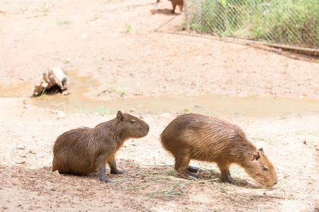 Close up of a Capybara
