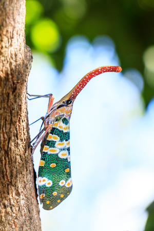 lanternfly, the insect on tree fruits