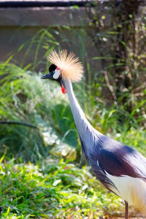 Grey crowned African crane