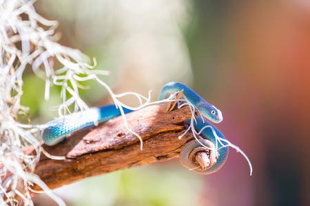 Blue snake on a branch
