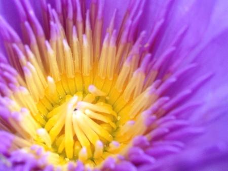 detail: Close up pollen of violet lotus