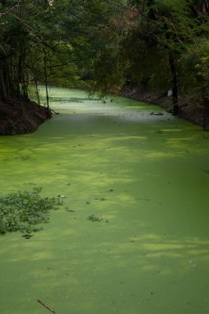 water weed in swamp.