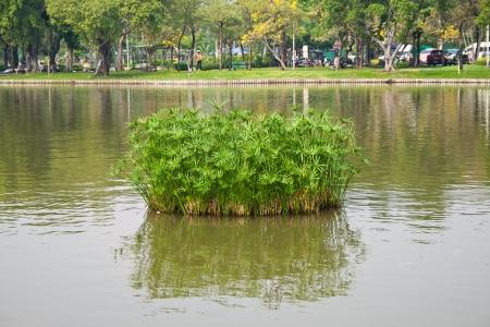 water grass in the jatuchak park thailand.