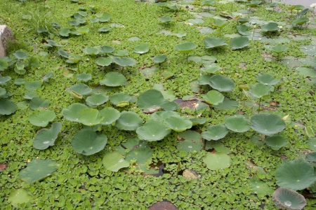 Pond in garden it has weeded and lotus leaf in side. photo