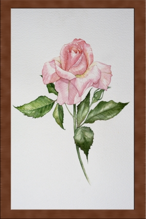 Isolated water color pink rose it photo