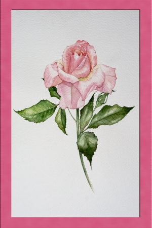 Isolated water color pink rose it