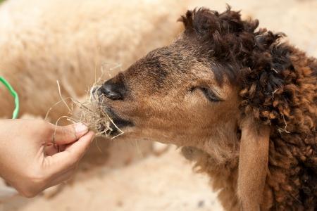 Hand feeding cute sheep by dry grass  photo