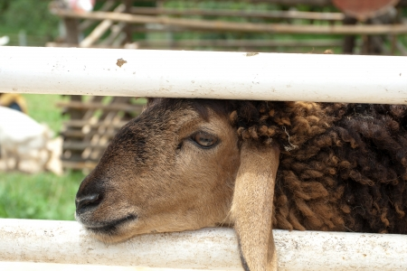 Sading sheep in stable  He look at me like please release me  photo