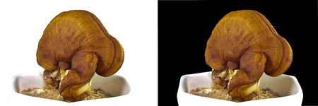 lacquered: Brown lacquered Mushroom in white pot