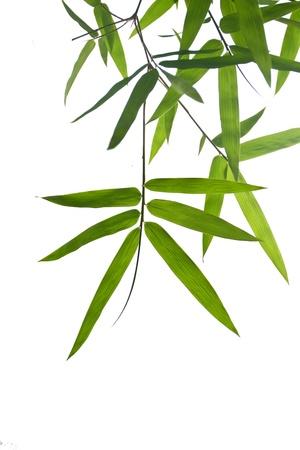 tige: Feuilles de bambou sur fond isolat blanc Banque d'images
