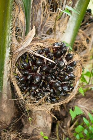 Fresh palm oil fruit on palm tree photo