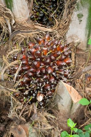 red palm oil: Red fresco olio di palma frutta palma Archivio Fotografico