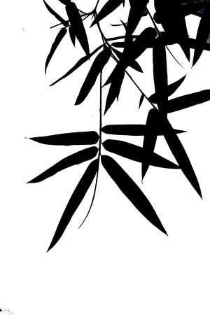 Shadow of bamboo leaf on white isolated background