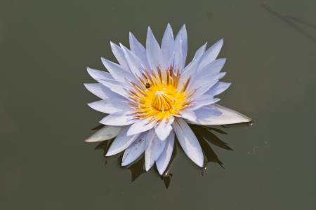 purple lotus or water lily  with leaf background photo
