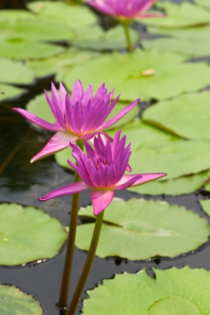 red lotus or water lily  with leaf background photo