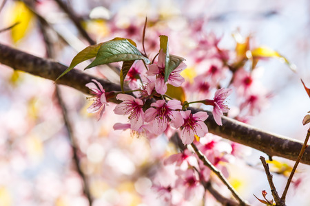 pink flower of Wild Himalayan Cherry in petchaboon thailand Stock Photo
