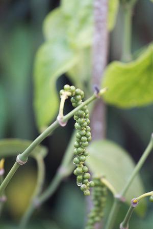 Green pepper on tree