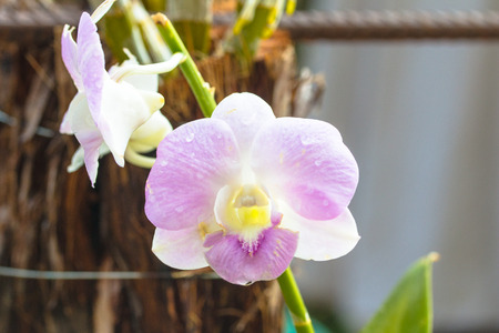 Purple white orchid in morning