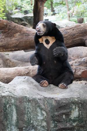 Sitting Malayan sun bear on stone