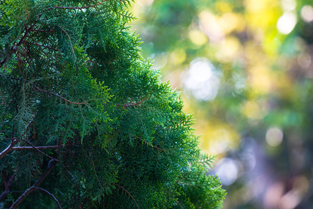 Green pine leaf background with light bokeh Stock Photo