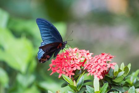 blue Butter on red Rubiaceae flower