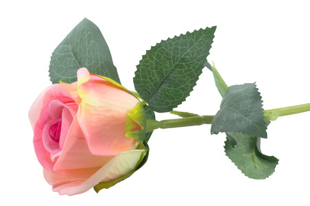 pink Rose on white isolated background