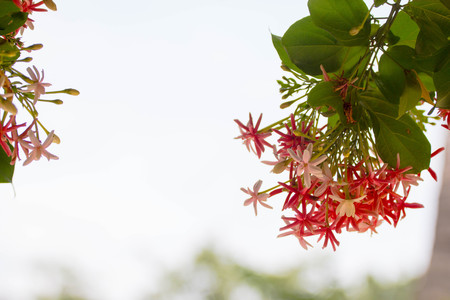 Pink and red Ixora nature background Stock Photo