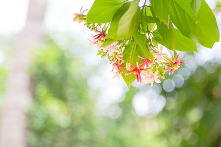 pink and red Ixora nature background