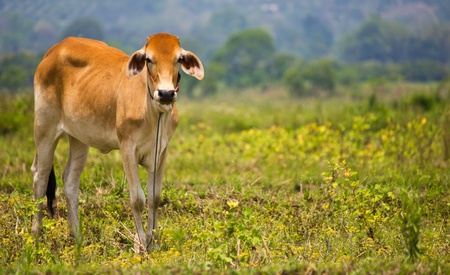 cow,Northern in Thailand