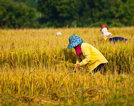 harvest,Northern in Thailand Stock Photo