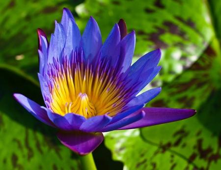 Lotus,in Thailand