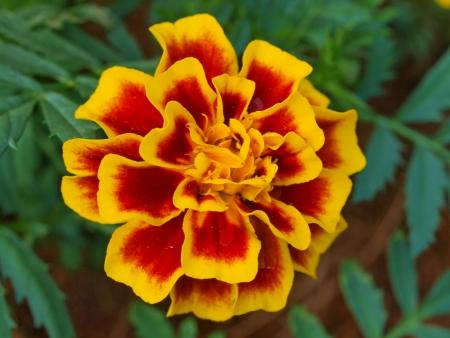 flower,in Thailand Stock Photo