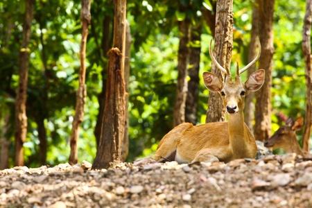 Deer,In Thailand