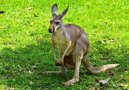 kangaroo at the zoo, Northern in Thailand