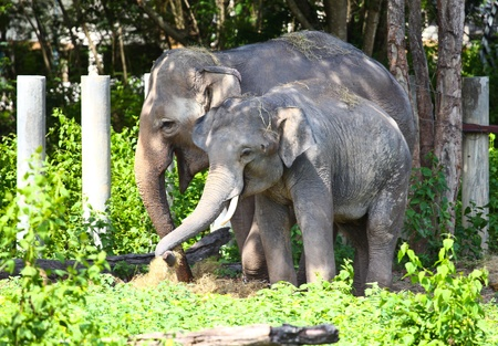 Elephants eat some food.Northern in Thailand