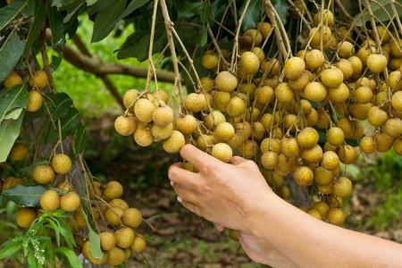 Farmers harvest their longan in  farm Stock Photo