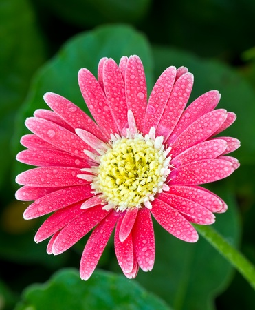 beautiful pink Gerber Flowers