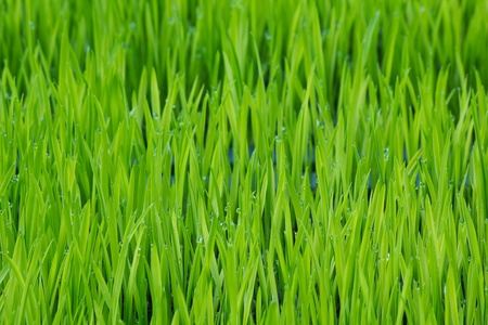 young green paddy plant  background photo