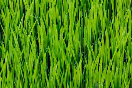 young green paddy plant  background